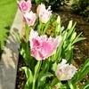 【コロナと私⑫】それでも花咲く春の庭・ものぐさガーデニング 前編
