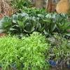 【家庭菜園】小松菜を収穫しました。