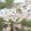 愛知県「岡崎公園の桜祭り」のお花見写真