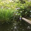 まめ子の公園の紫陽花 2