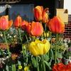 チューリップの花が真っ盛り !!