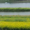 菜の花と水の森林を観に兴化撮影ツアー千垛花开に参加(1)