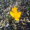 クロッカスの開花