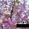これは、春に咲く桜ではありません。