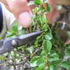 梅雨の今だからやっておきたい盆栽の作業