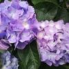紫陽花 の 季節