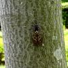 木陰で鳴くアブラゼミ