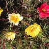 百花繚乱「オーシャンズ8」みたいなマツバボタン・ガーデン