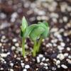 家庭菜園の枝豆が発芽