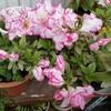 サギソウ出芽クレマチスもうすぐ開花とモルたっち