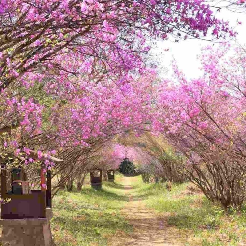 【2021】美しい花に癒されたい! 京都のツツジの名所7選