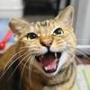 12月前半の #ねこ #cat #猫 どらやきちゃんC