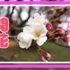ついに!潮来市権現山公園の桜が咲きましたよ!