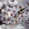 松川べりの桜は満開☆