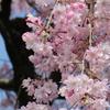 枝垂桜が満開でした。