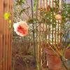 開花はしているものの…「アブラハム・ダービー」の植替え