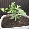 小玉スイカの立体栽培(空中栽培)