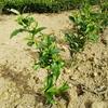 幼木に肥料まき