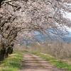 サギやドローンも:神通川さくら堤・塩の千本桜