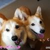 レジーナリゾートびわ湖長浜(3) お食事編(犬との宿泊 感想ブログ)