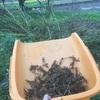 二週間ぶりに、10分だけ収穫、黒エゴマ