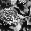 OLYMPUSのコンデジ 「XZ-10」で2017年6月5日までに撮影した写真を紹介します。アジサイの季節です