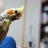 15日目 ペットショップでオカメインコの雛の世話について聞いてきた