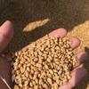 農業経験ほぼゼロ! ほぼ素人が、この梅雨に麦を収穫する