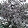 葉桜揺れるおうちとそと時間 2020/04/19