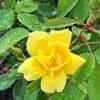 花壇作りはバラを植えてスタート。カッチコチの地面に穴を掘るのが大変で園芸用の土を購入。