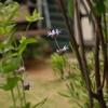 ホリホック、咲く