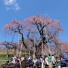 【福島】激コミ必至!日本五大桜のひとつ『三春の滝桜』を見てきましたよ