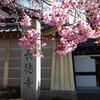 長徳寺おかめ桜と鴨川の寒彼岸桜🌸 -京都桜散歩2018-
