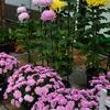 ご近所さんの菊がきれいに…