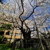 Sakura Shooting 4 🌸 … 盛岡市 国指定天然記念物「 石割桜 」