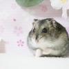 【ノーマル編】かわいいハムスター画像付き解説-飼い方など飼育歴10年以上の人が解説!