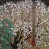 桜ー日本人と共鳴する花ー