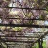 渋川公園の藤棚:岡山県玉野市