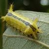 巨大なイラガの幼虫(再掲)