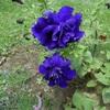 バラ咲きペチュニア。紫色の花。
