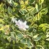 常緑・丈夫で初心者にも育てやすい庭木:矮性『アベリア』の成長と開花!~計15株をグランドカバー,寄植え,生垣など様々なシーンで育成