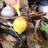 黄色い大きのこを発見。