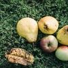 洋梨の種類と旬の時期をそれぞれ徹底解説|品種ごとの違いやおすすめはどれ?