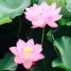 人生は、「泥の中で美しく咲く練習」の場でもある。