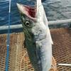 本牧海釣り施設deでっかいサゴシ🔥 🔥 そして、、シャーク🐧!!!