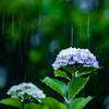 大雨にも負けず咲く花たち