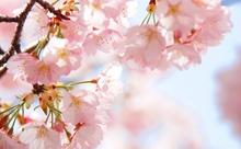 「桜の花の塩漬け」を英語で言うと?