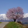 白馬散策 ~アルプスと野平の一本桜~