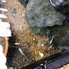 メダカの餌…ミジンコって栄養価が高い⁉️