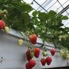 旬のイチゴで免疫を高める